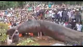 Repeat youtube video Huge monster in vietnam