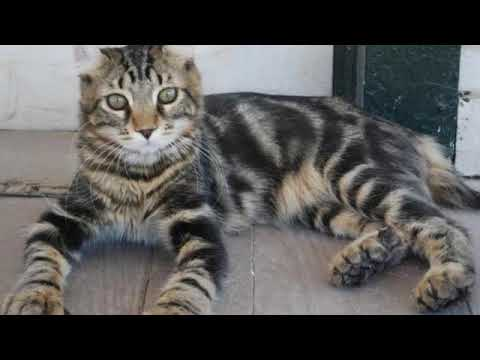 Highlander - cat breed