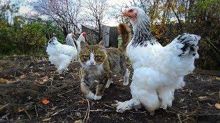 #Koshlandia Siberian Farm cats  and chickens Кот да  петух
