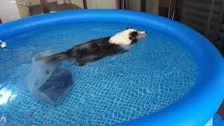 シェルティブールマール 家庭用大型プールで楽しく泳ぐぷると https://b...