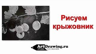 Рисование крыжовника графитным карандашом