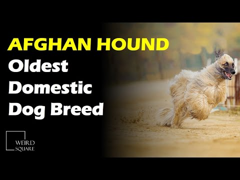 The Afghan Hound is thought to be one of the oldest of all domestic Dog breeds