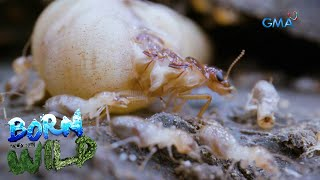 Born to be Wild: Termites: The Silent Destroyers