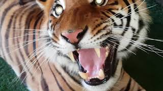 The risk of touching tiger fur, what does it feel like?