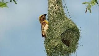 Birds Of Paradise - Weaver Birds Making Beautiful Weaving Bird Nest.