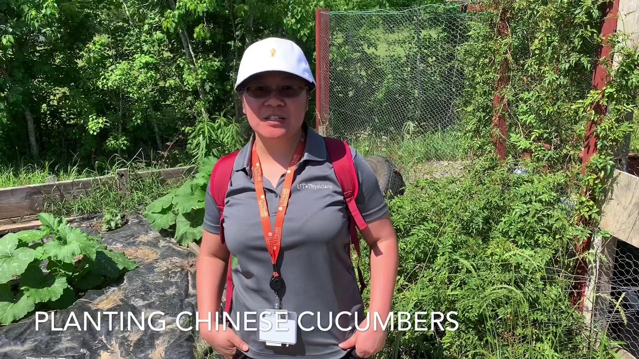 Planting Chinese Cucumbers