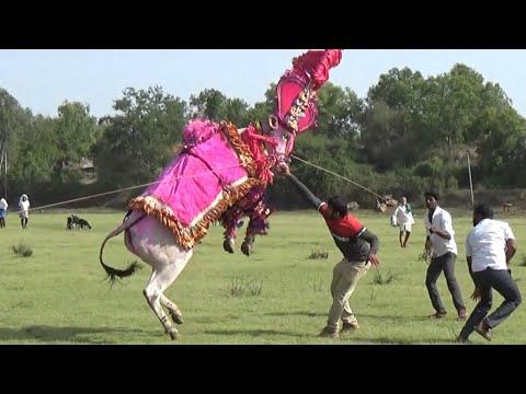 333 jumping star Jogi Hallikar bull Kelavarakoppa Haveri ! Hori Habba Jallikattu