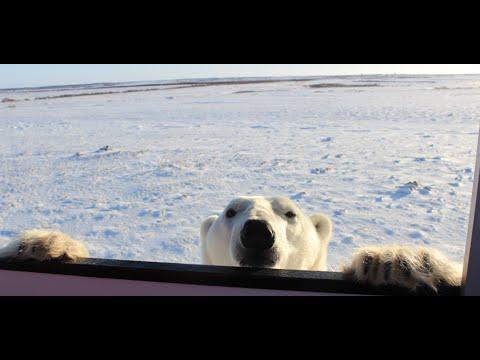 Tauck Polar Bear Expedition in Manitoba, Canada!