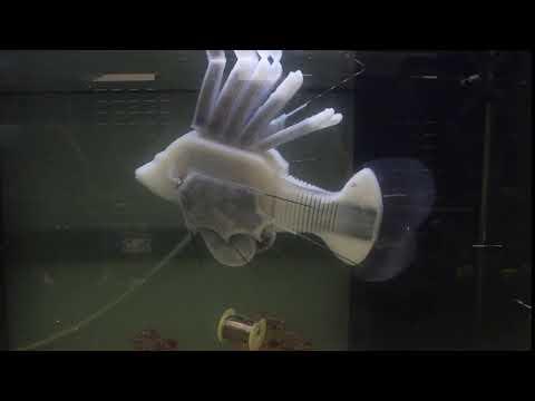 Этот робот-рыба использует энергию «кровотока» для движения (2 фото + 2 видео)