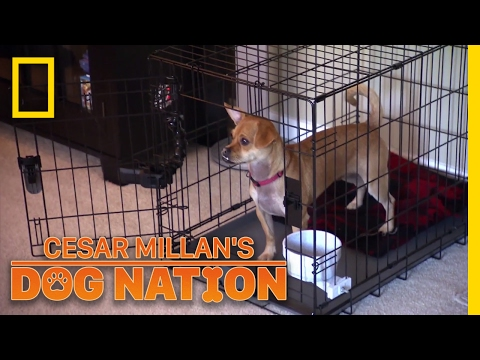 Relaxing a Real Rascal   Cesar Millan's Dog Nation