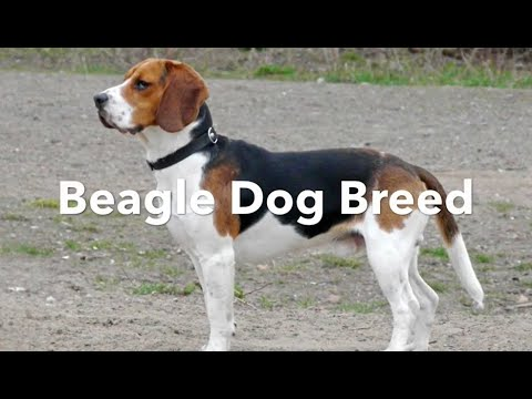 Beagle Dog Breed - A Dog For Any Owner
