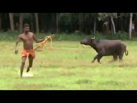 Water Buffalo Charges At Paddy Farmers