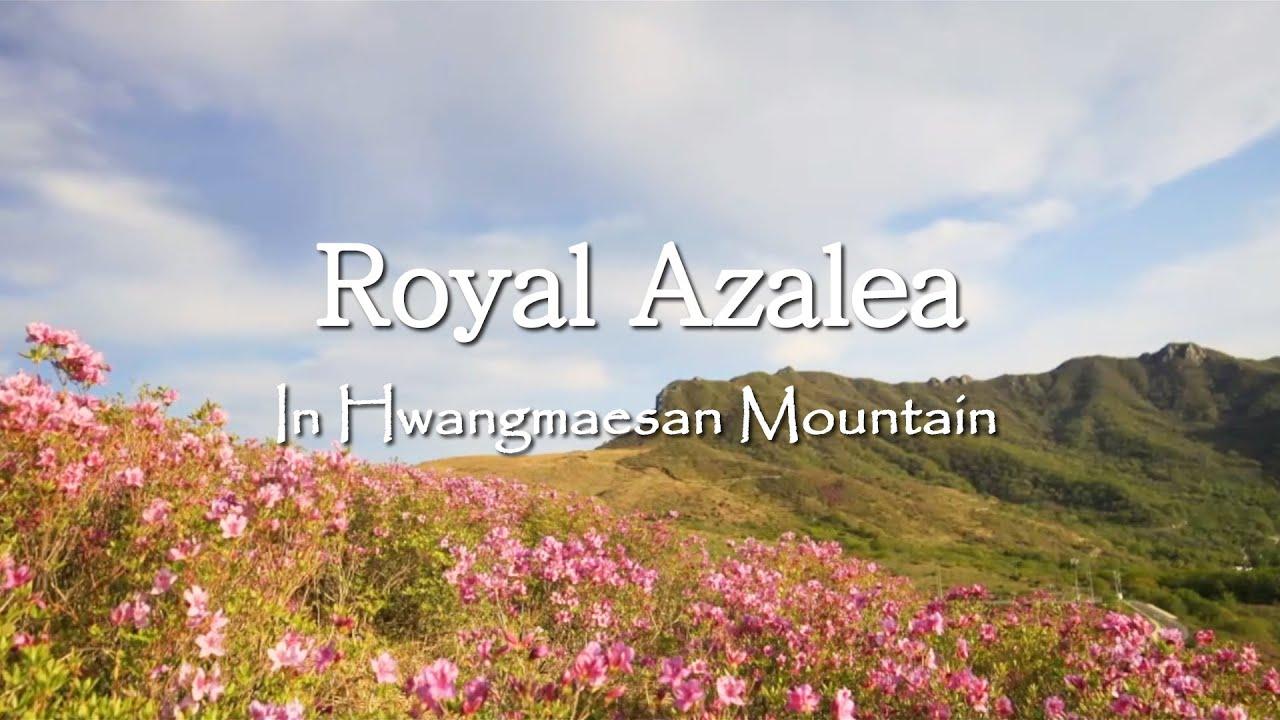 황매산 철쭉 / 힐링 영상ㅣRoyal Azalea