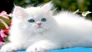 EXOTIC PERSIAN CAT FOR SALE IN DELHI AND INDIA ((9711696640))