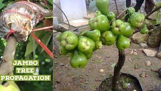 Jambo plant ( water apple ) air layering propagation