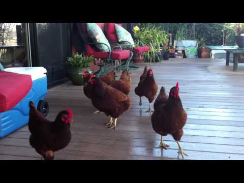 Chickens having fun