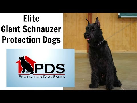 Elite Prufenpuden Giant Schnauzers by Protection Dogs For Sale