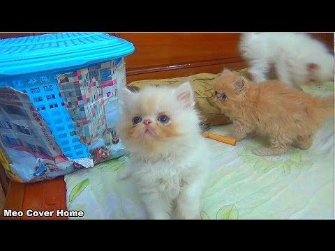 Adorable Kittens Playing Together | Funny Kittens  2017 | Meo Cover Home