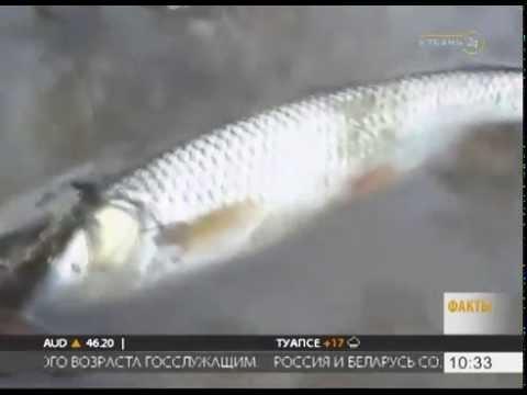 В Лабинском районе обнаружили массовую гибель рыбы в реке Кукса