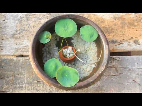 lotus plant potting l mini pot l gold fish