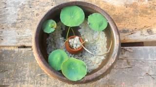 lotus plant potting l mini pot l gold fish