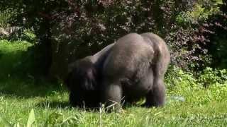 Lowland gorilla, Opole Zoo, Poland / Goryl nizinny w opolskim zoo