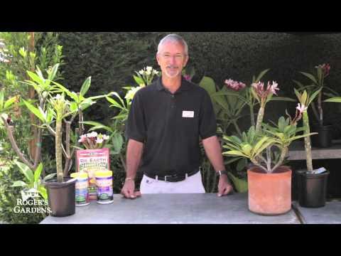 Growing Plumerias with Steve Hampson