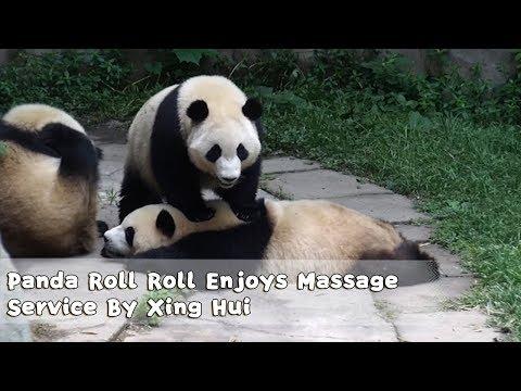 Panda Roll Roll Enjoys Massage Service Provided By Top Masseur Xing Hui | iPanda