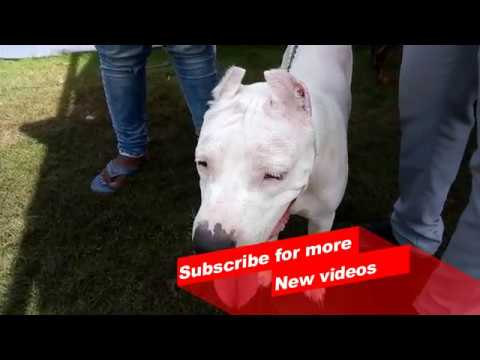 Wow ! Most Amazing dog breeds worldwide | Dogo Argentino |
