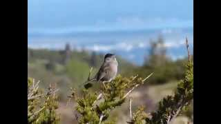 Golden-crowned Sparrow song