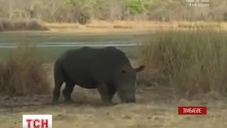 У Зімбабве єгері врятували носорога, який застряг у шині