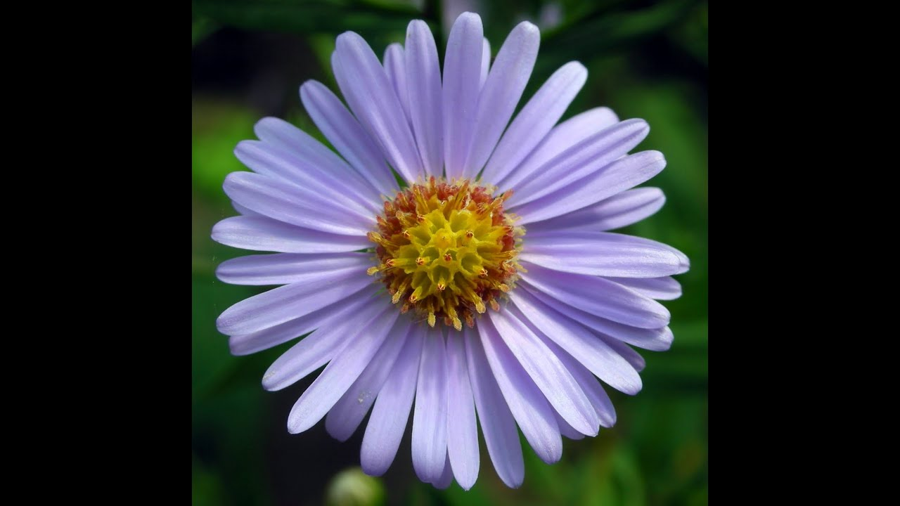 what does the aster flower mean? patience, love of variety, Beautiful flower