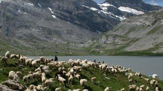 Работа в Швейцарии. Бросить все и уйти в пастухи