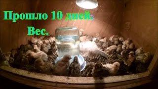Перепелам 10 дней / Вес / Жизнь в деревне