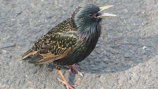 Starling bird's variety of calls and sounds