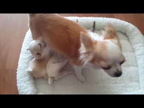4 wk Chihuahua puppies at the milk bar