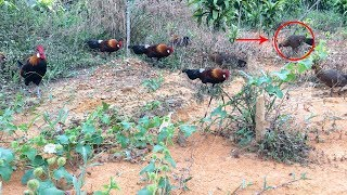 Originally Want Snares Chicken Forest Male, But Who Fit Even Chicken Forest Females.