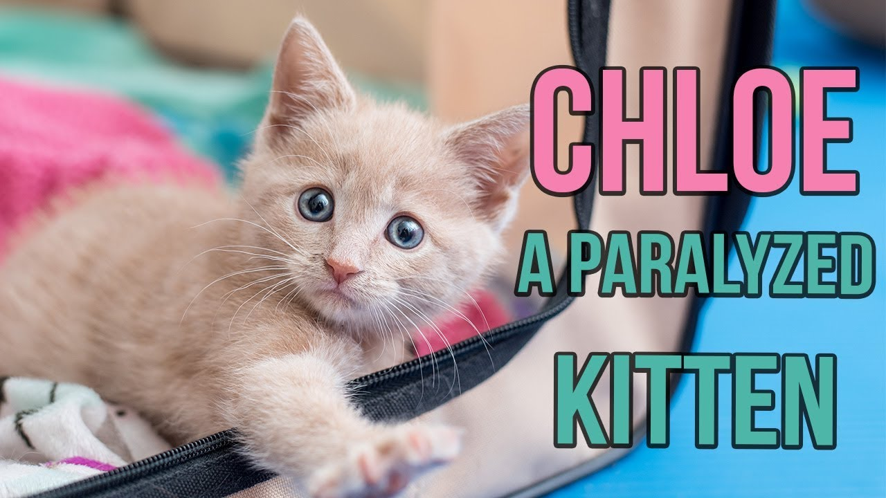 Rescuing Chloe A Paralyzed Kitten Youtube