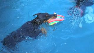 5 Month Old Doberman Puppy Hottie Learning To Swim In Swimming Pool
