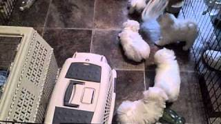 Maltese Puppies | Maltese Breeders | Maltese Puppies For Sale |maltese Dogs |  Akc Breeders