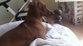 Cute Dachshund Barking