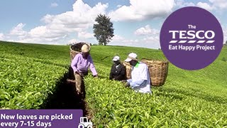 Tip Top Tea: how does tea grow?