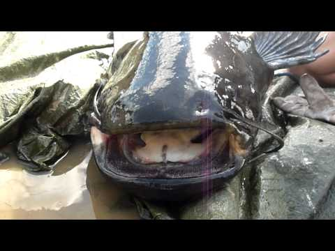 20 Largest Fish Ever Caught from YouTube · High Definition · Duration:  7 minutes 34 seconds  · 91,000+ views · uploaded on 12/29/2016 · uploaded by Talltanic