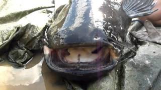 Biggest catfish ever!!