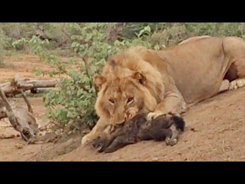 MALE LION ATTACKS & KILLS BABY HYENA