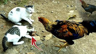 TEST FEED ON CATS VS CHICKENS || AMAZING must be watched