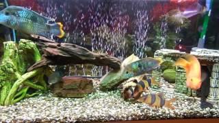Красочный цихлидник на 180 литров
