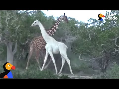 Thumbnail: Rare White Giraffe And Her Baby Caught On Film | The Dodo