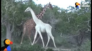 Rare White Giraffe And Her Baby Caught On Film | The Dodo