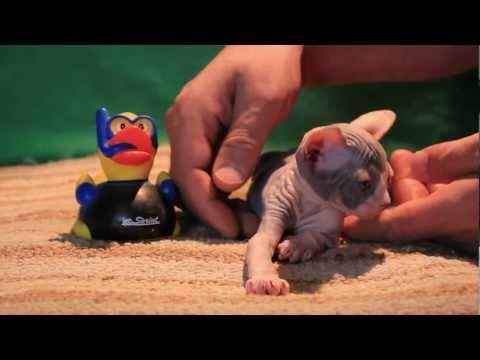 Jezabelle(Lilly) - 4 weeks old Sphynx kitten